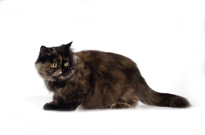 Cat Breeder Near Me Guide For Finding Cats For Breeding Informations