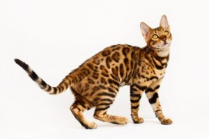 bengal cats and kitte