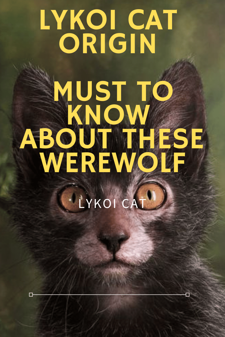 Lykoi Cats Origin Must To Know Cats For Breeding Informations