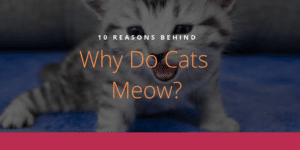 Why Do Cats Meow _