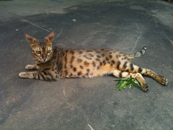 What should one know before getting a bengal cat?