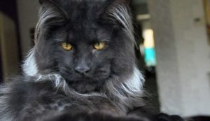 black-maine-coon-