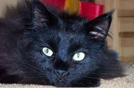 black-maine-coon-4-