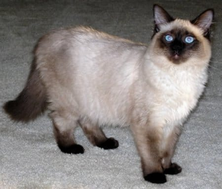 cute-balinese-cat-photo