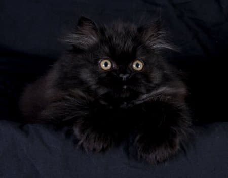 Black Persian Cats 22