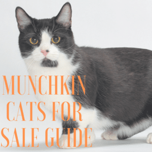 Munchkin cats for sale guide