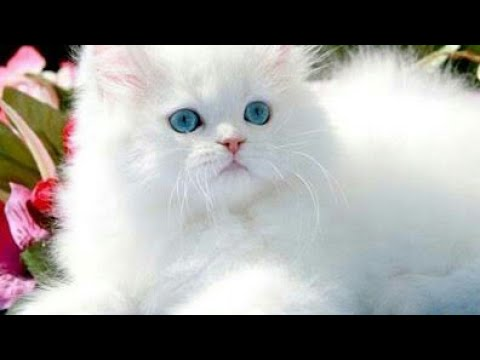 white persian cat 2