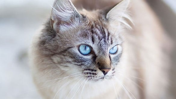 cats breed  Should I buy a cat from a cats breeder over the internet?